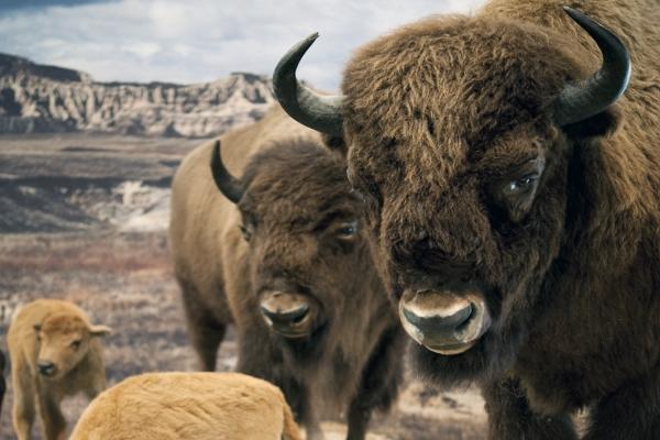 Dauerausstellung: Prärie-und Plainsindianer_LWL-Naturkundemuseum in Muenster